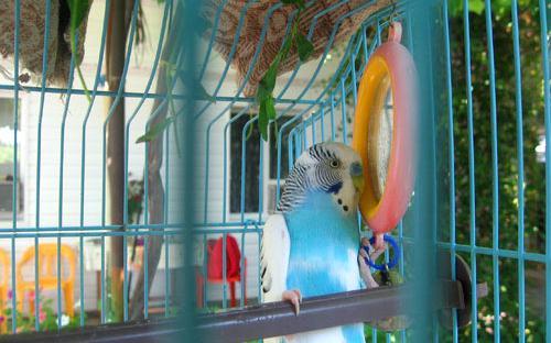 Хранитель нашего Дома и спокойствия отдыхающих - говорящий попугай Кеша